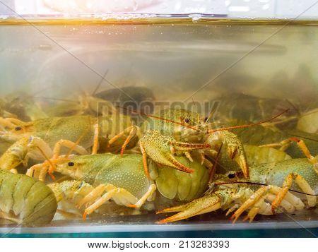 Live Crayfish In Aquarium. Crawfish In Water