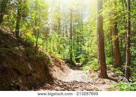 Pathway In Summer Forest.