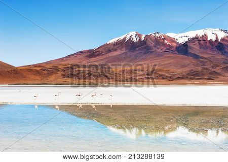 Pink Flamingo On The Lagoon In Altiplano, Bolivia