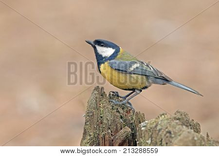 Bright Colorful Titmouse Sitting On A Stump