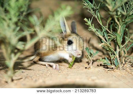 Jerboa / Jaculus. The jerboa are a steppe animal and lead a nocturnal life. Jerboas are hopping desert rodents found throughout Northern Africa and Asia east to northern China and Manchuria. They tend to live in hot deserts.