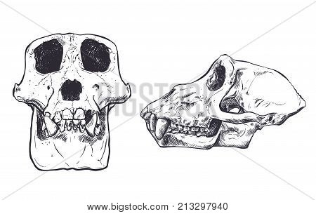 Illustration of a Monkey Skull on background. Vector