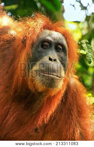 Portrait Of A Female Sumatran Orangutan In Gunung Leuser National Park, Sumatra, Indonesia