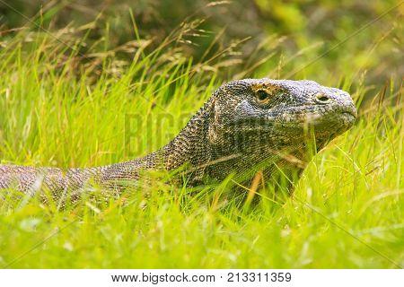 Portrait Of Komodo Dragon Lying In Grass On Rinca Island In Komodo National Park, Nusa Tenggara, Ind