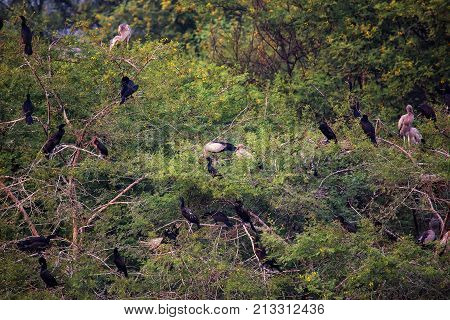 Birds Roosting In Trees In Keoladeo Ghana National Park, Bharatpur, India.