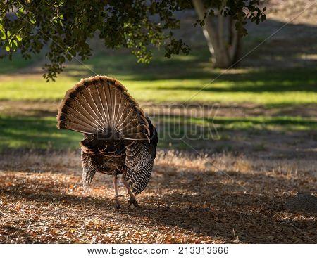 Close up of rear of wild turkey strutting with tail feathers in fan across sun dappled field