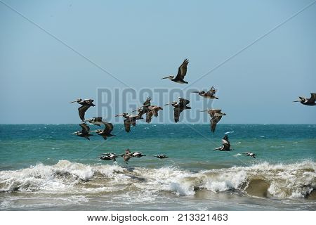 Pelican flying in formation over the ocean with waves