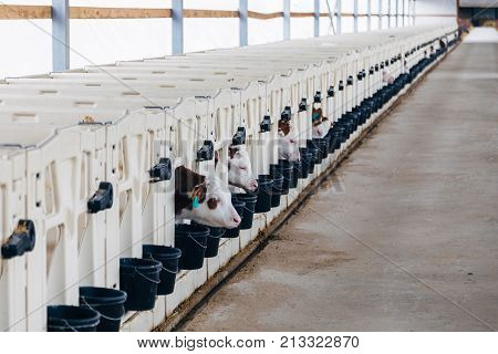 Growing of young dairy calves in the nursery with white calf-houses (calf-boxes) in diary farm.