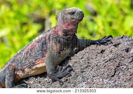 Marine Iguana On Espanola Island, Galapagos National Park, Ecuador