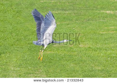 Grey Heron lifting off