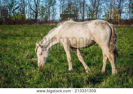Wild White horse is groomed and unkempt mane and tail, the wounds from fights - grazing in the meadow. The world and the animal life outside of human civilization.