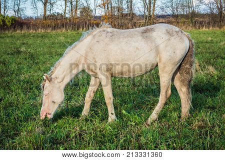 Wild White horse is groomed and unkempt mane and tail, wounds from fights - grazing in the meadow. The world and the animal life outside of human civilization.