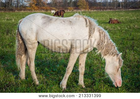 White horse is groomed and unkempt grazing in the meadow. Idyllic peaceful world of animals.