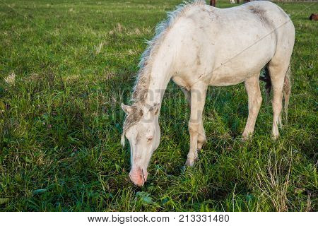 The white horse is groomed and unkempt grazing in the meadow. Idyllic peaceful world of animals.
