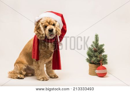 American cocker spaniel with Santa's cap and a red scarf on white background. The dog sits look at the camera. Red christmas tree and ball near dog.