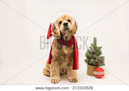 American cocker spaniel with Santa's cap and a red scarf on white background. The dog sits look up. Red christmas tree and ball near dog.