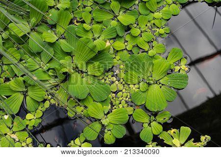 duckweed lemna minor waterplant top view lake