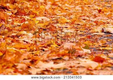Autumn background from lot of colorful fallen yellow leaves on the ground outdoors close up view