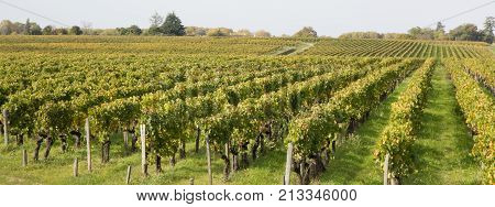 Rows Of Vineyard Grape Vines.autumn Landscape With Colorful Vineyards