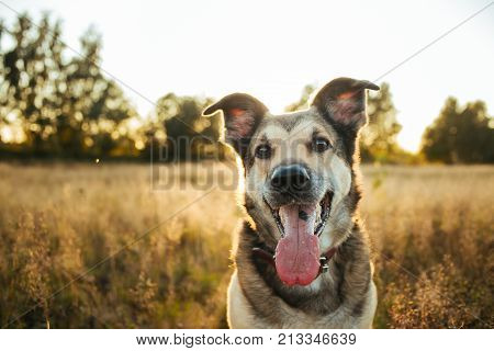 Portrait Of Beautiful Happy Dog, Looking At Camera At Nature In Sunset