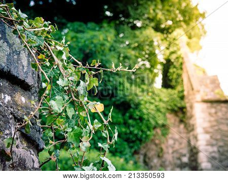 Creeper plant climbing over an old wall in a quaint english country village