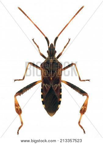 western conifer seed bug (Leptoglossus occidentalis) isolated on white