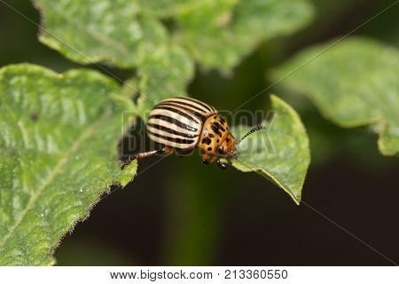 Colorado potato beetle on potato leaves in nature .