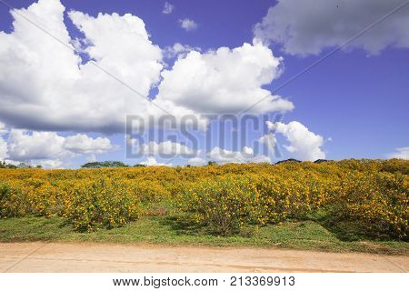 Yellow Mexican Sunflower On the Moutain on Sky Blue
