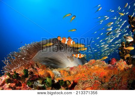Clown Anemonefish (Clownfish), Sea Anemone and coral reef in Thailand