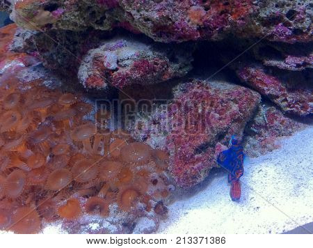 marine aquarium, coral reef with invertebrates and mandarin goby