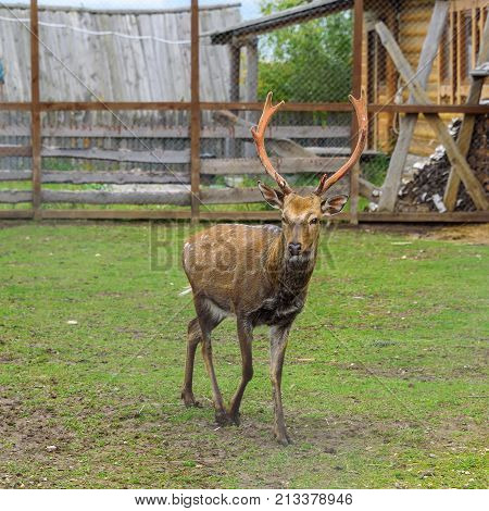 One Deer With Large Horns In A Spacious Enclosure In The Summer.