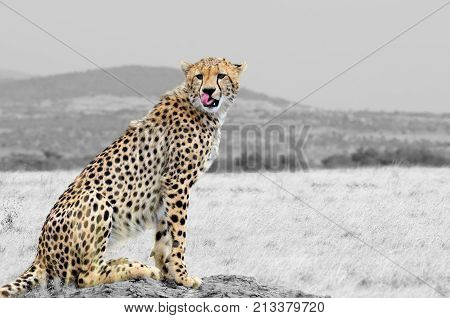 Black And White Photography With Color Cheetah
