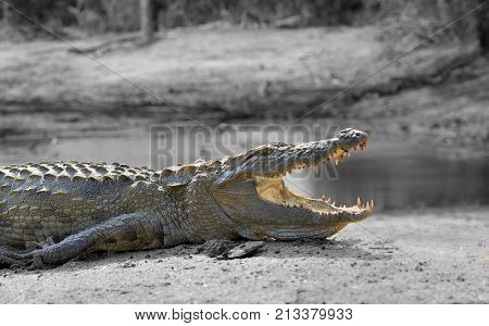Black And White Photography With Color Crocodile