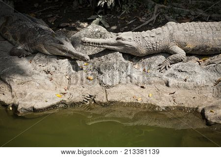 False Gharial   False Gharial  is crocodile species Tomistoma  Schlegelii , long snout , found in Malaysia and Indonesia