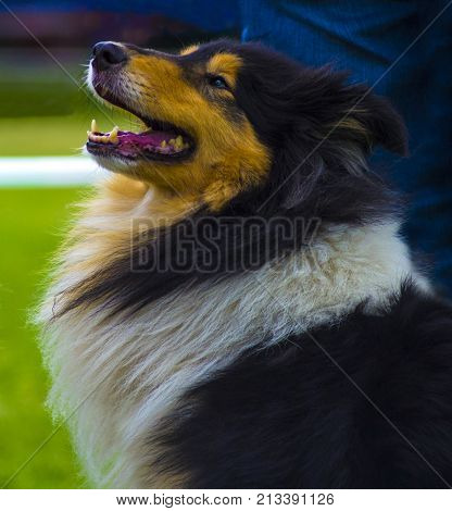 Dog collie. The collie is a distinctive type of herding dog including many related landraces and formal breeds.