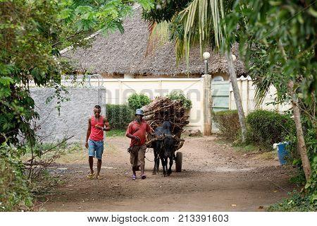 Malagasy Farmer Riding Ox Cart In Nosy Be, Madagascar