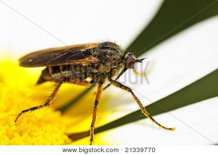 Balloon Fly (empis Tessellata)