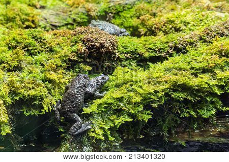closeup of black toads mating on wet moss
