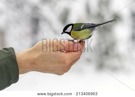 Bird titmouse eats food on the palm