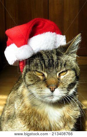 Grumpy Christmas Tabby cat with a Santa hat on its head