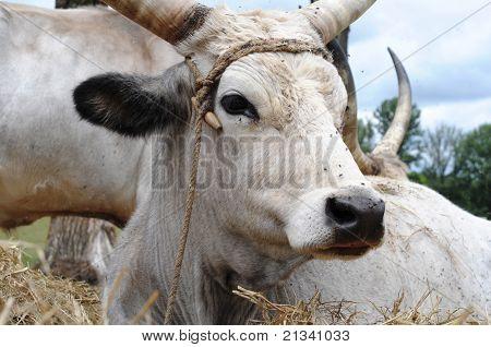 Grey Cattle