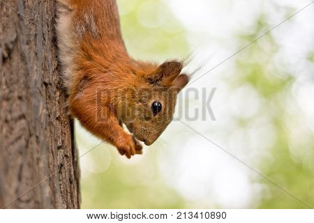 Little Red Squrell Baby In Forest