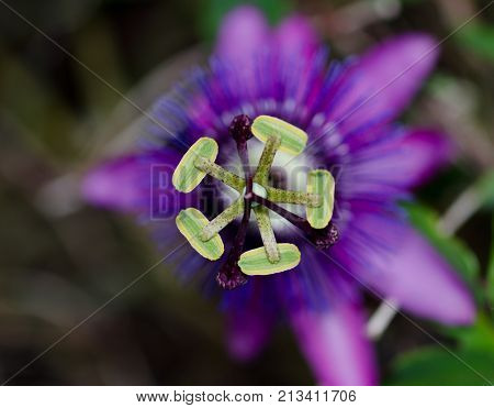 Close up of the stamen of a purple passion flower