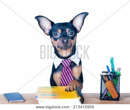 Dog office worker isolated. A dog in a tie and a white collar in the office. Russian Toy Terrier. Director Manager Worker fun