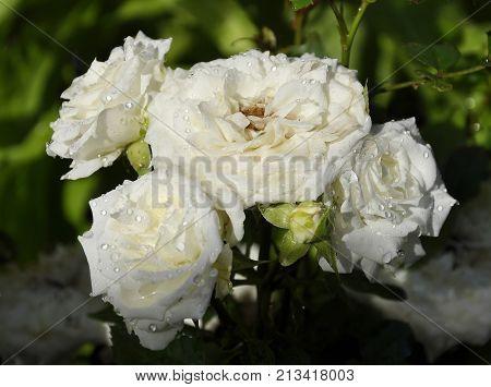 Rambler Roses At Garden Bed