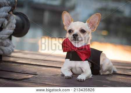 A dog in fashionable clothes with a butterfly on a walk