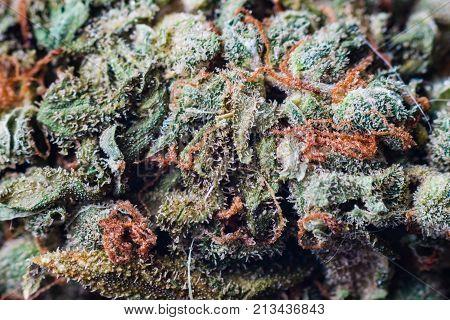 cannabis trichomes macro photo of plant marijuana bud health, cultivation of hybrid varieties of Indica and Sativa medical universities