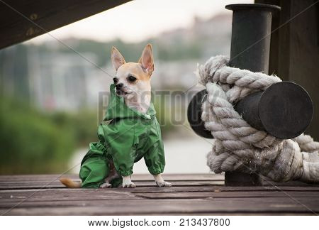 A dog in stylish autumn clothes on a walk