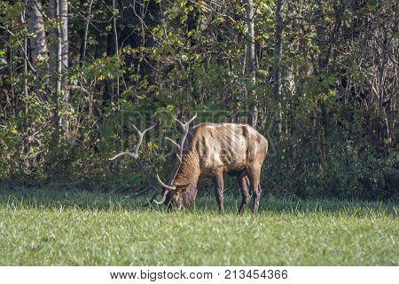 A Bull Elk grazing in a field of grass near Cherokee North Carolina.