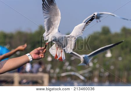 Many Seagulls flying to catch food at day
